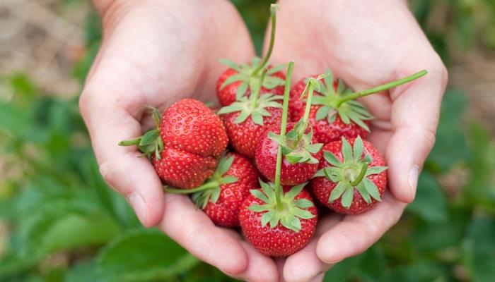 Más de 100 vacantes para trabajar en el cultivo de la fresa